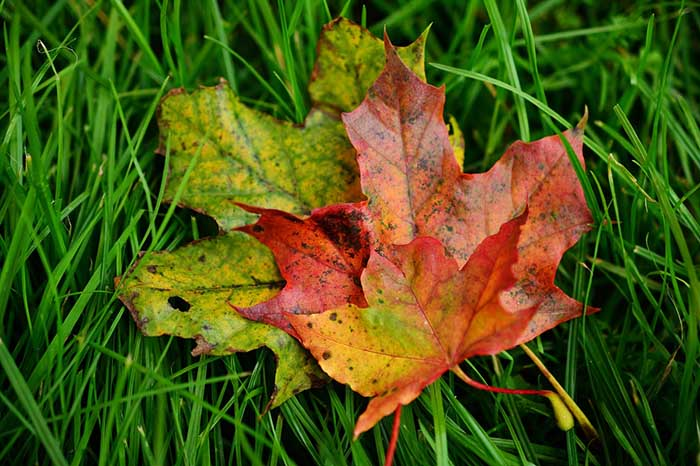 "Colorful fall leaves are layered on top of green grass in Spoken Garden's ""Top Fall Garden Tasks"" post."