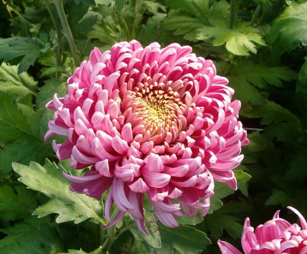 A large, pink chrysanthemum blossom in Spoken Garden's Chrysanthemum Plant Profile post.