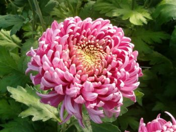 A large, pink chrysanthemum blossom in Spoken Garden's Chrysanthemum Plant Profile post.