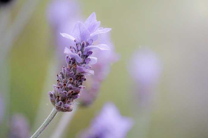 "A single, purple, spiky lavender flower front of a field of lavender in Spoken Garden's ""Lavender plant profile"" advertisement."