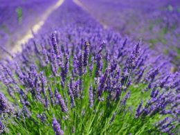 The Gardener's Guide to Lavender: Lavender Plant Profile