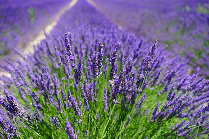 a bushy, purple lavender plant in the foreground of a field of lavender behind in Spoken Garden's Lavender plant profile, lavender.