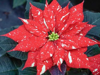 "A bright red and white poinsettia plant in Spoken Garden's ""Poinsettia Plant Profile"" advertisement"