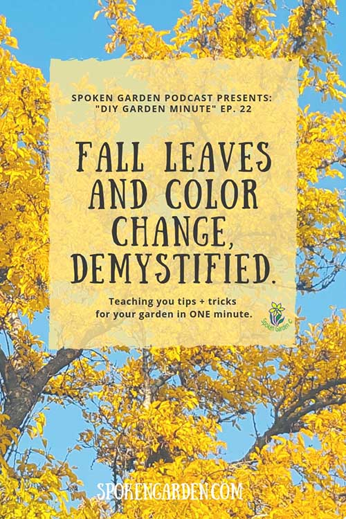"A beautiful fall tree with bright yellow leaves against a blue sky in Spoken Garden's ""Fall Leaves and Color Change"" podcast advertisement"