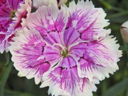 Dianthus: A Gardener's Guide and Plant Profile
