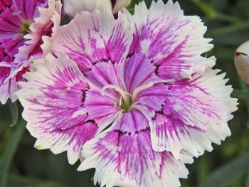 "A purple and white 'Sweet William' cultivar is shown on Spoken Garden's ""Dianthus Plant Profile"" post."