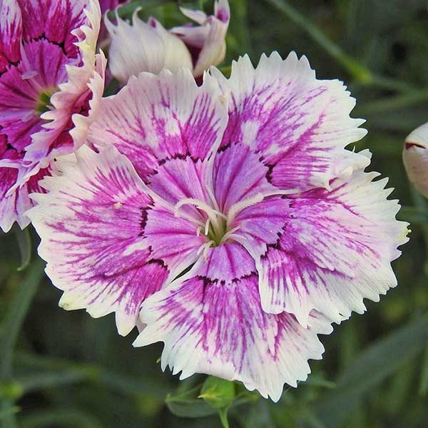 """A purple and white 'Sweet William' cultivar is shown on Spoken Garden's """"Dianthus Plant Profile"""" post."""