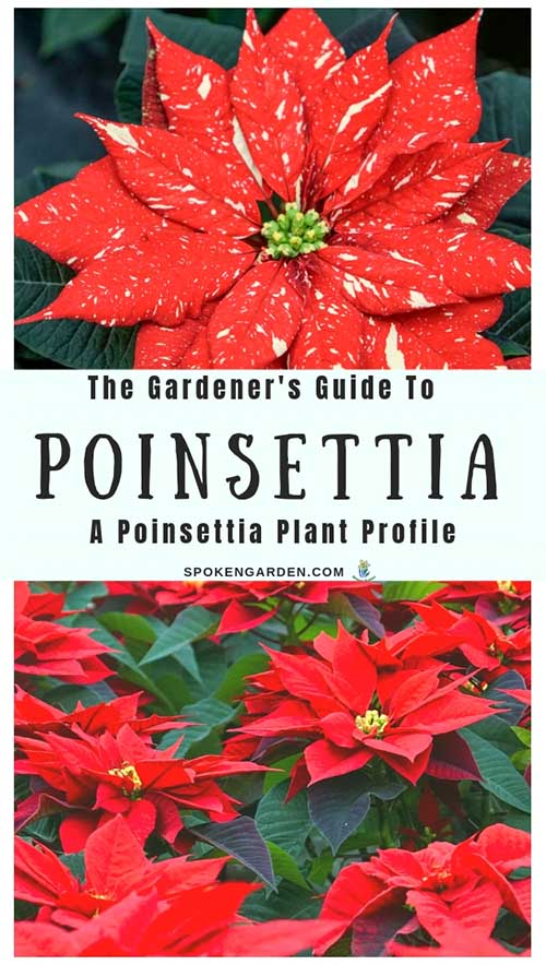 """One vibrant, red poinsettia and a bunch of red poinsettia plants as advertised in Spoken Garden's """"Poinsettia Plant Profile"""" post."""