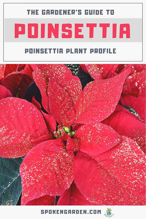 "A beautiful, red Poinsettia plant is highlighted in Spoken Garden's ""Poinsettia Plant Profile"" post advertisment."