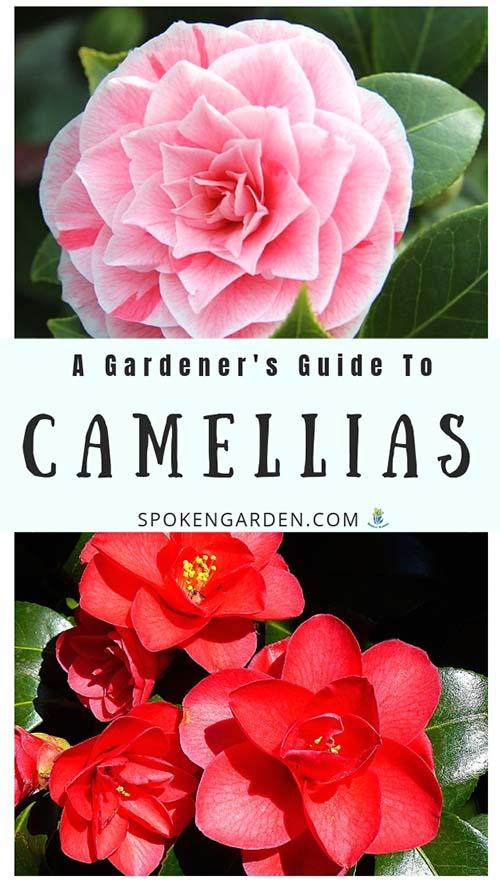 Camellia Plant Profile by Spoken Garden