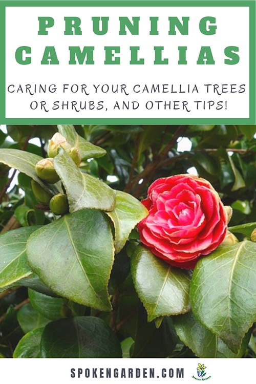 A beautiful camellia bush is an example of a camellia that needs pruning in Spoken Garden's diy garden podcast ep. 49