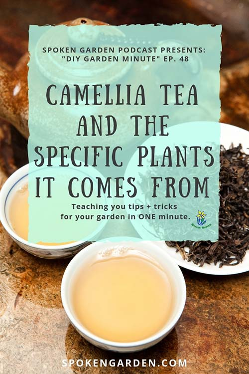 Two tea cups produced from Camellia tea leaves are discussed in Spoken Garden's podcast