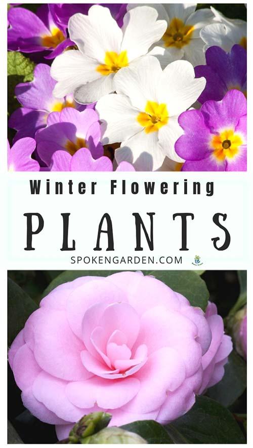 Primrose and Camellia are featured winter flowering plants in Spoken Garden's DIY Garden Minute Ep 50