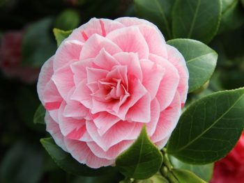 "Camellia plant with a pink flower on the evergreen shrub in Spoken Garden's ""Camellia Plant Profile"""