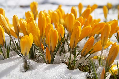 A yellow crocus is an example of a winter flowering plant