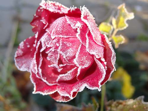 Winter fertilizer is needed for this frozen rose as discussed in Spoken Garden's podcast