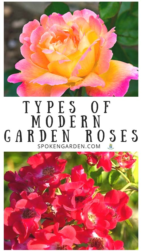 Orangish-Pink single Rose and Red Rose shrub with text overlay in Spoken Garden's podcast advertisement