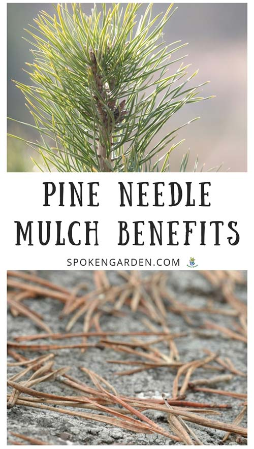 A pine tree with green needles and needles on the ground used as mulch with text overlay in Spoken Garden's podcast advertisement