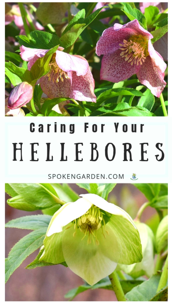 Pink and white Hellebores pictured on Spoken Garden's podcast advertisement
