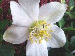 Helleborus Niger: A Mini Plant Profile – DIY Garden Minute Ep. 53