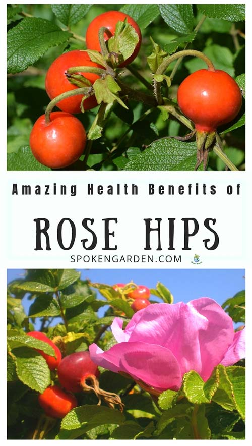 Red rose hips with text overlay in Spoken Garden's podcast advertisement