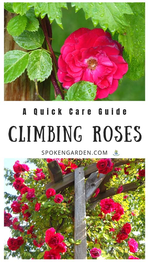 Red Climbing Roses with text overlay in Spoken Garden's podcast advertisement