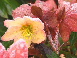 Helleborus orientalis: A Mini Plant Profile –  DIY Garden Minute Ep. 54