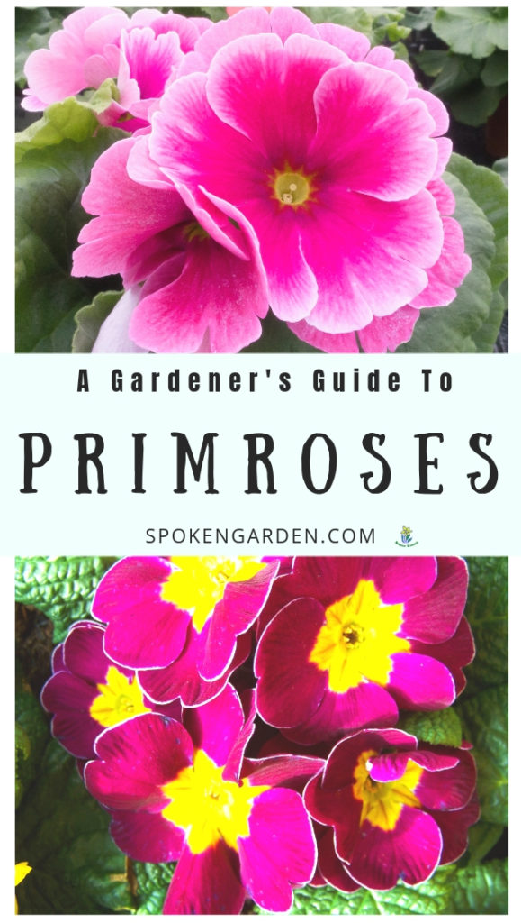 Bright pink Primrose plants and flowers with text overlay in Spoken Garden's podcast advertisement