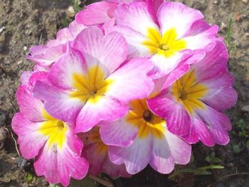 Pink primrose flowers advertised in Spoken Garden's Primrose plant profile.