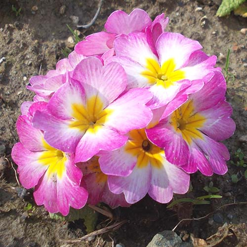 Pink primrose flowers advertised in Spoken Garden's Primrose plant profile.