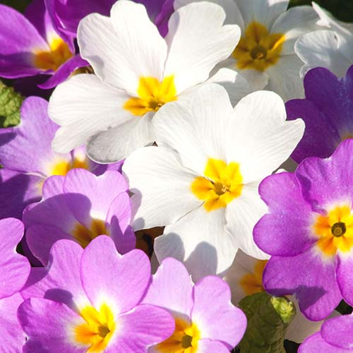 Purple and white Primroses from the Primula genus in Spoken Garden's DIY garden minute podcast