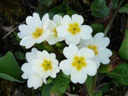 Primula vulgaris: A Mini Plant Profile – DIY Garden Minute Ep. 59