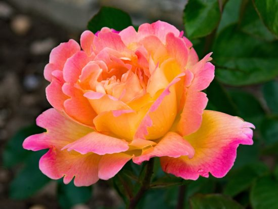bright orange, pink, and cream mixed rose flower in full bloom.