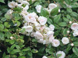 Climbing Roses: A Quick Care Guide – DIY Garden Minute Ep. 57