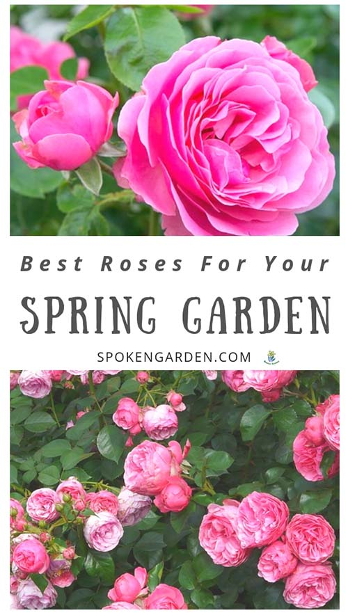 "Pink floribunda roses and a pink climbing rose plant with text overlay in Spoken Garden's ""Best Flowering Roses"" post"