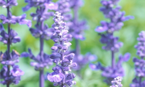 Purple lavender used for poractive gardening
