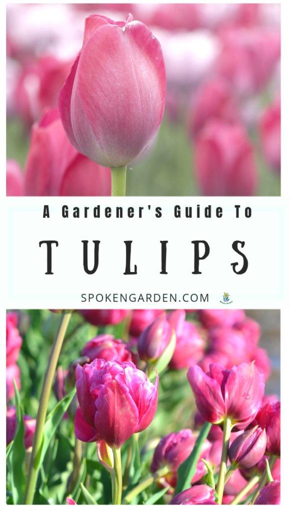 Pink tulip flowers with text overlay in Spoken Garden's post advertisement