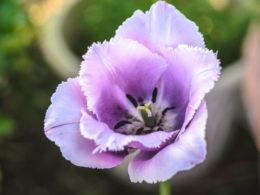 Types of Tulips For Your Spring Garden – DIY Garden Minute Ep. 67