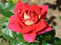 Best Flowering Roses For Your Spring Garden (And How To Pick The Right One)