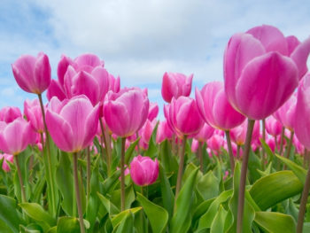 Pink tulip flowers advertised in Spoken Garden's Tulip plant profile.