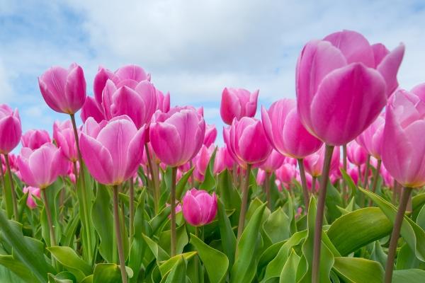 Pink tulip flowers advertised in Spoken Garden's Tulip plant profile.