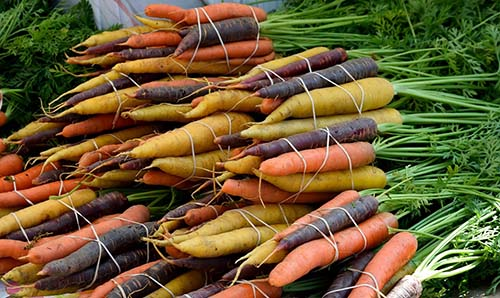 Colorful medley of home-grown carrots from organic seeds