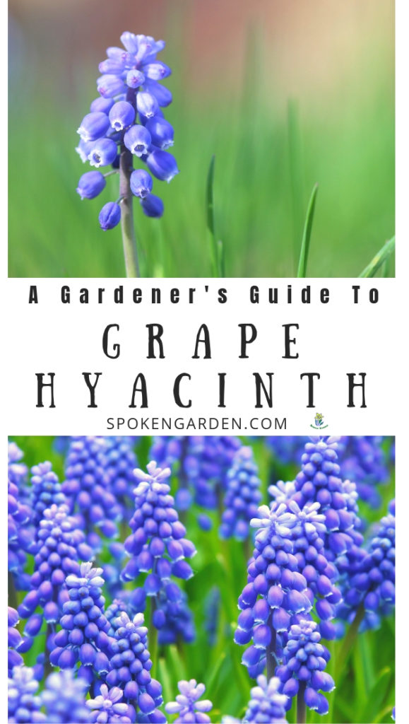Purple grape hyacinth with text overlay in Spoken Garden's Muscari plant profile