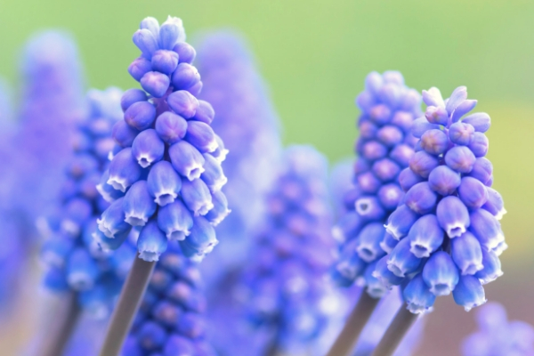 Purple muscari flowers advertised in Spoken Garden's Grape Hyacinth plant profile.