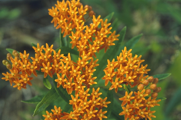 Butterfly Milkweed in Spoken Garden's DIY garden minute podcast