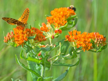Orange Butterfly Milkweed flowers and butterflies advertised in Spoken Garden's plant profile post.