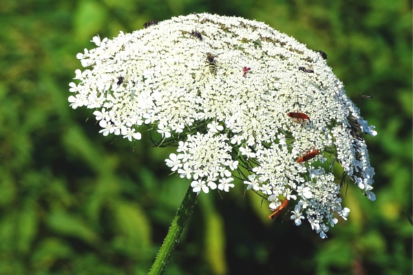 White Yarrow plant in spoken garden's podcast advertisement