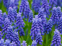 Muscari: A Mini Plant Profile – DIY Garden Minute Ep. 78