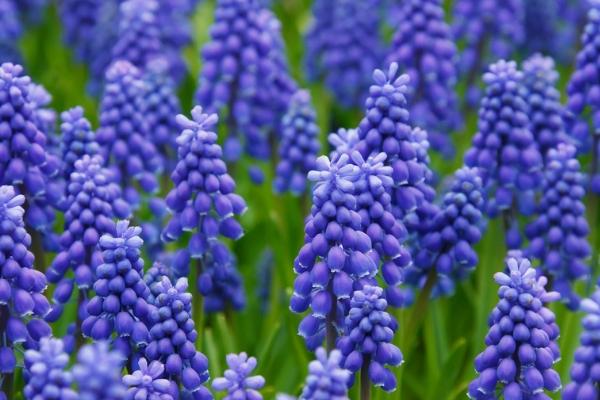 Field of blue Muscari flowers advertised in Spoken Garden's Muscari Grape plant profile.