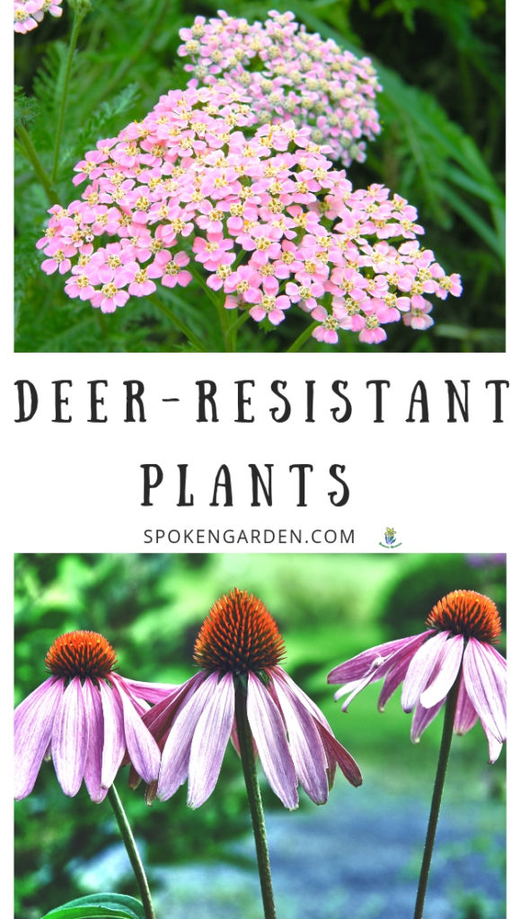Yarrow and Coneflower with text overlay in Spoken Garden's podcast advertisement